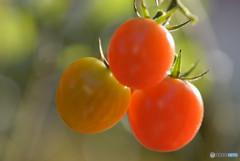 名残のトマト