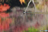 鴨ちゃんの秋