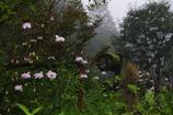 雨のレンゲショウマ