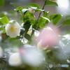 新潟の名花雪椿