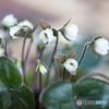 春の訪れ Ⅱ(雪割草)