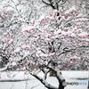 春雪の梅花