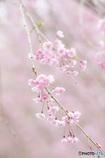 今年の枝垂れは桜色に