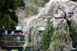 妙義神社と桜