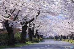 桜とS字カーブ