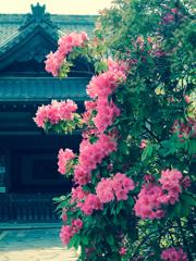 室生寺躑躅