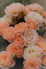 Miniature rose♡