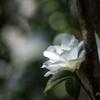 _camellia