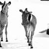 _zebra