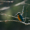 _kingfisher