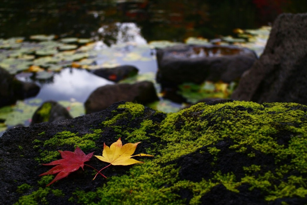 秋めく蓮池