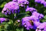 鮮やかな紫と虻か蜂か