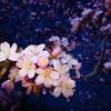主張する夜桜