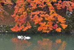 紅葉と白鳥