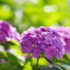 朝の日差しの中の紫陽花