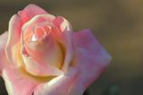 薔薇は美しく散る