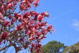 赤紫の花 飛行機雲を添えて