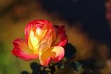 情熱の薔薇