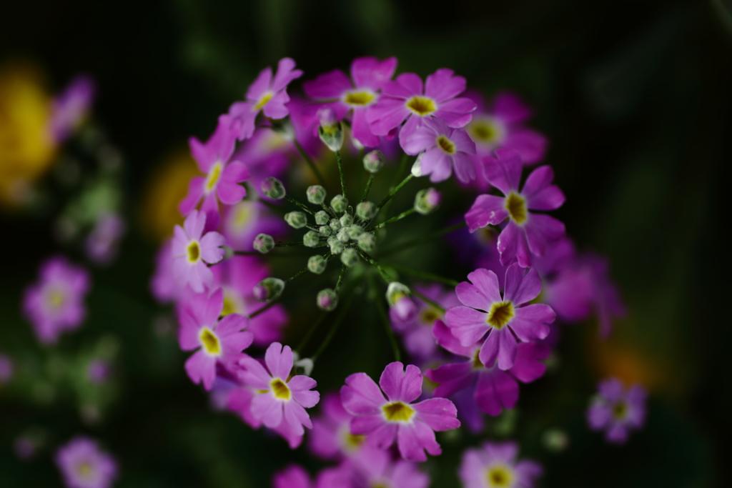 冬花火 紫