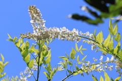狂い咲き ~白藤~