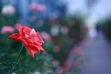 温室内に咲く美形