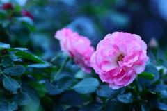 秋薔薇 咲きましたね