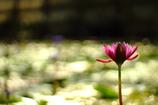 夕日に映える睡蓮