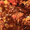 紅葉に晩秋の陽