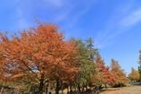 落羽松の並木道