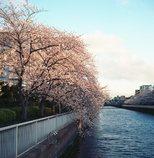 大横川桜並木