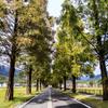 初秋のメタセコイア並木