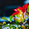 秋の雫・心の紅