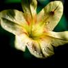 春水仙 雫がキラリ 初夏の匂い