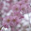 '17 八幡掘りの桜2