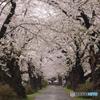 北上展勝地の桜Ⅰ