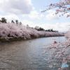 弘前城の桜Ⅲ