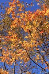 11月の黄葉