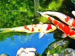 光と鯉の競演♡