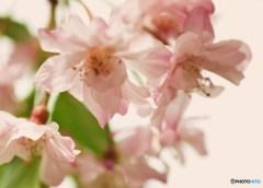 枝垂れ桜②