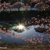 夕日と桜の踊り