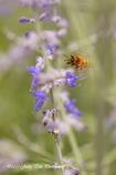 蜂の羽音周波数