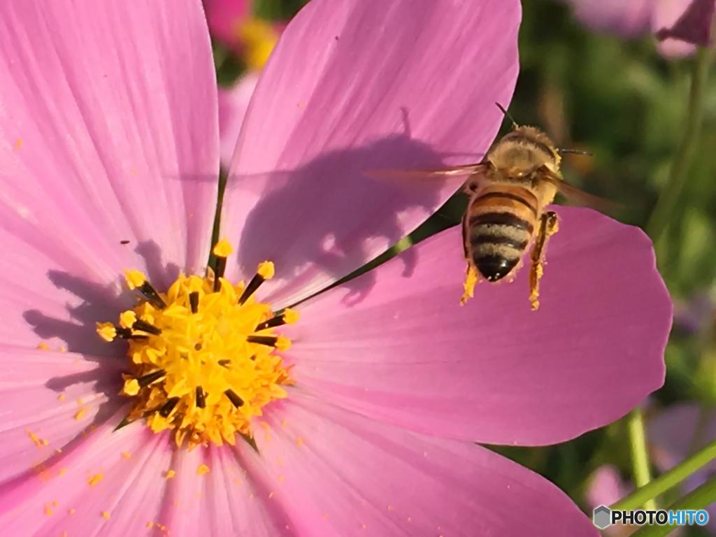 コスモスと蜜蜂影