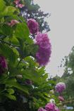 逆光 紫陽花