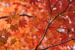 秋の葉もみじ