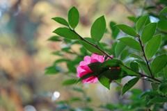 山の山茶花