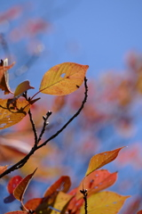 秋空覗く桜葉