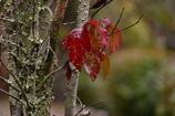 秋の葉ヤマボウシ