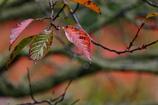 秋の葉さくら