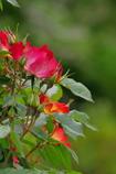 透ける薔薇