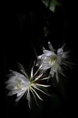 一夜限りの花